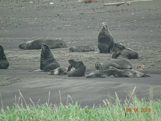 Saint Paul Island, AK: A few of the male fur seals awaiting the arrival of the females