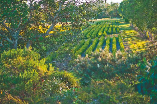 Ballina, Australien: Tea Tree Farm