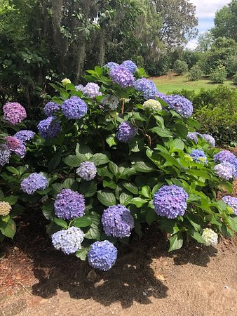 Hydrangea at Middleton Place