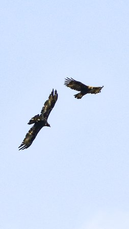 Enjoy Mull: Golden Eagles