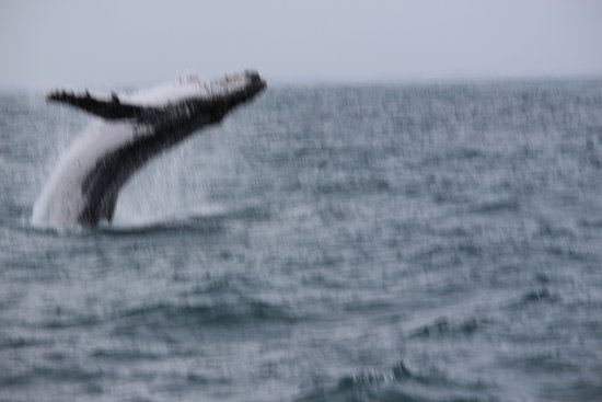Augusta Whale Watching Eco Tour: This was the first and closest breach for the day - just couldn't get the camera up and focused in time! Damn! - But is was exciting!!!