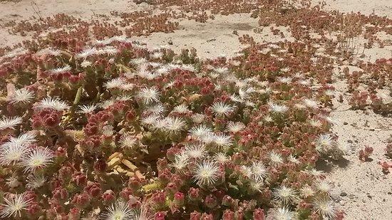 the common ice-plant