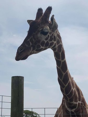 Giraffe didn't get fed until it went back over its side of the fence - but got a good look at these magnificent creatures