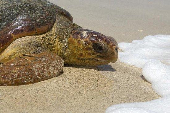 Observation des tortues Boavista...
