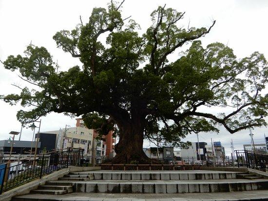 Great Camphor Tree of Zendo-ji Temple