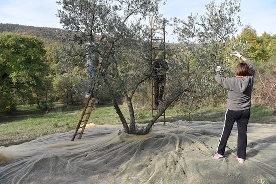 Olive picking for our homemade olive oil