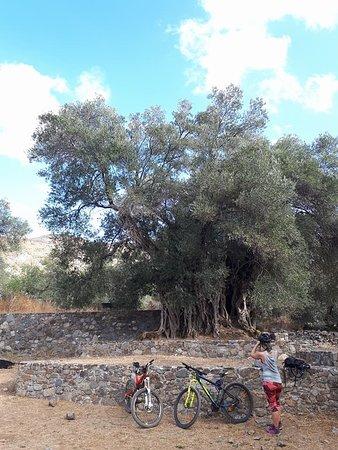 The monumental Olive Tree of Kandanos. All around the Kandanos Valley©