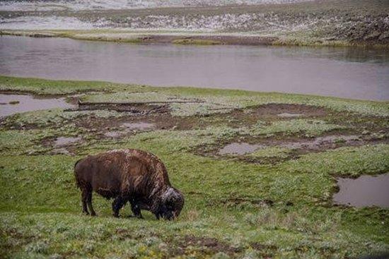 Hayden Valley: Bison