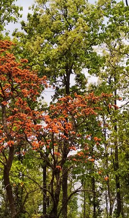 Ranchi District, Indie: Palash (Flame- of- the- Forest) and Sal trees in full splendour in McCluskieganj in April
