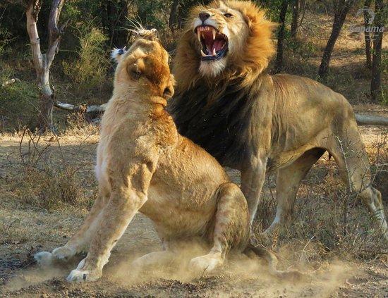 Kapama Buffalo Camp: Big Five Game Drive - Lions