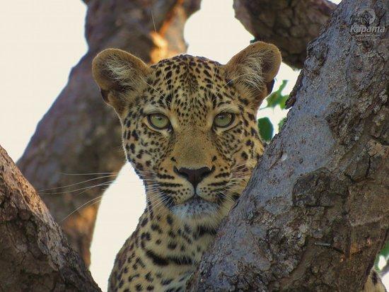 Kapama Buffalo Camp: Big Five Game Drive - Leopard