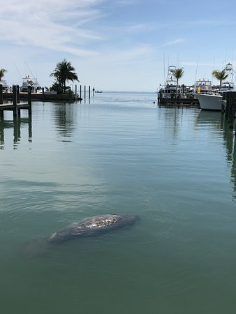 There were a few manatees hanging around the harbor.