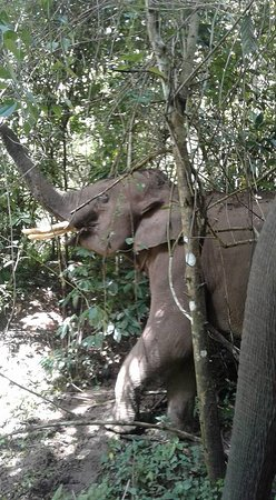 6days/5nights Volunteering Kindred Spirit Elephant Sanctuary Chiang Mai: Searching in the trees.
