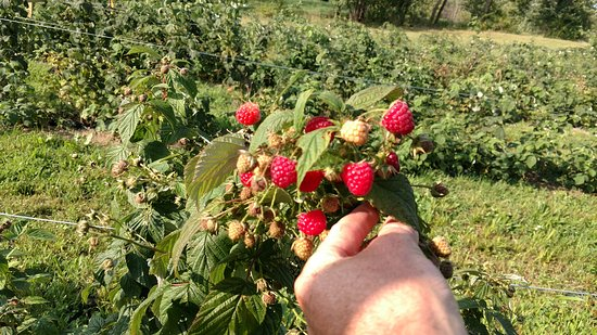 Chardon, OH: Our Red Raspberries for Pick-Your-Own.  We also have Black Raspberries.  Most of these will ripen Aug-Sept