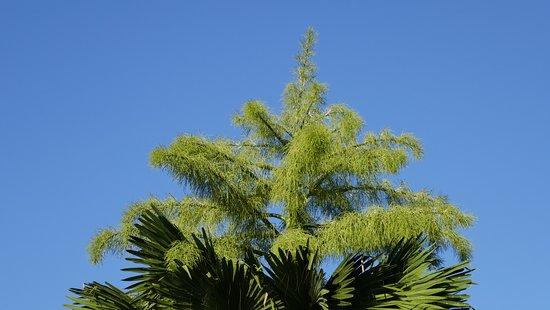 Parc Aquacole: notre talipot âgé de 23 ans commence a produire son inflorescence.