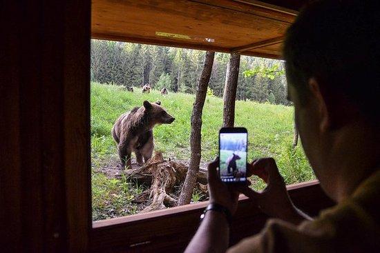 Bär beobachten im Land der Vulkane