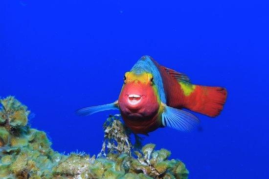 Playa San Juan, Španělsko: Atlantischer Papageienfisch