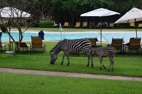 Зебры у бассейна.