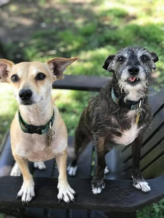 Looking to fill the spots on your couch? This adorable bonded pair, Daisy and Trudy, are two 8 year old terrier/chihuahua mixes. Boy do they not act their age! These two have so much wonderful playful energy! They are looking for a home with a fenced in backyard, otherwise they'll get into all sorts of shenanigans. Come out and meet them today!