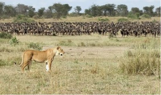Reserva Nacional Masai Mara, Quénia: As it happens during the yearly Great wildebeest and zebras migration, predators hot on their heels, ready to make a kill, as nature takes its due course