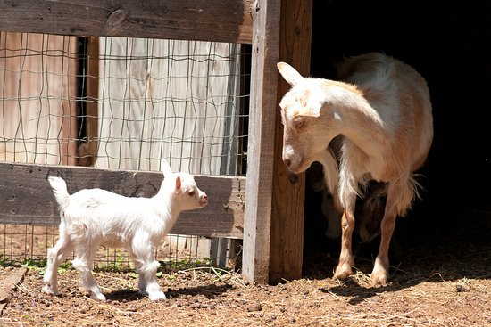 Bush, LA: Goats at the Splendor Farms Petting Farm