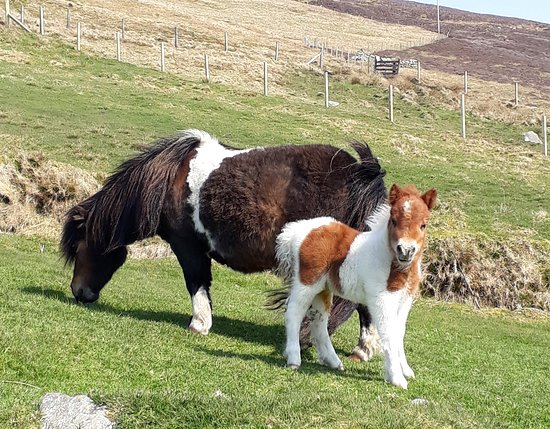 Tresta, UK: Shetland ponies at Breckenlea Pony Stud