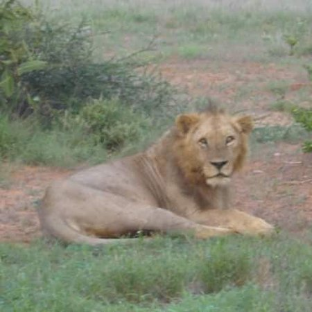 Reserva Nacional Masai Mara, Quénia: Lucky spotting a male lion with Pathway safaris, your destination local company