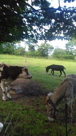 La vache Lady , les deux ânes  Fripouille  et Merveille