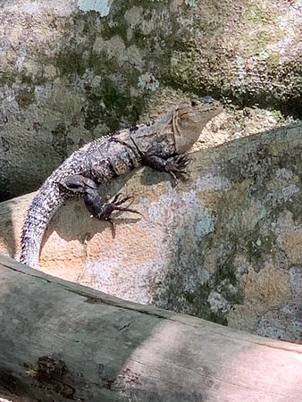 More iguanas.... they're everywhere.