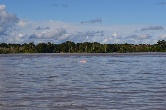 Loreto Mocagua, Colombia: el regalo que me dio el amazonas el avistamiento del delfin rosado  un poco dificil de ver y de captar en una foto per agradecido con Dios por esta oportunidad.