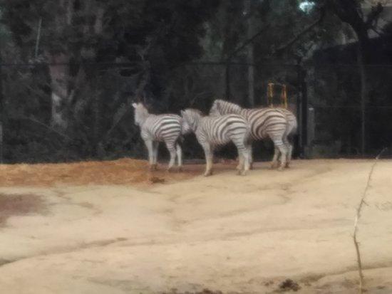 Melbourne Zoo General Entry Ticket: Zebras
