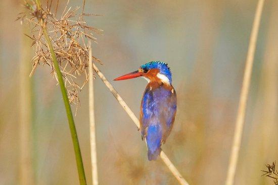 Malachite Kingfisher, Kwai River Botswana
