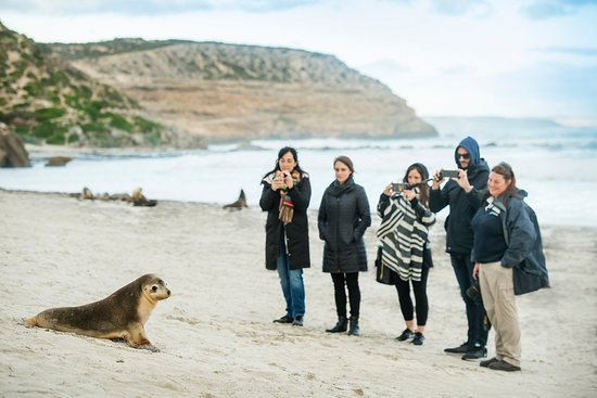 Kingscote, Australia: Getting up close with Australian sea lions at Seal Bay Conservation Park on a guided beach tour.