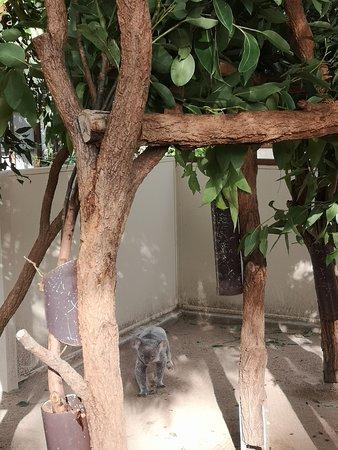 Lone Pine Koala Sanctuary Day Pass: Koala is awake