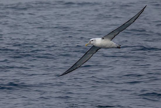 Phillip Island Whale Watching Tour: Shy Albatross gliding near the Kasey Lee