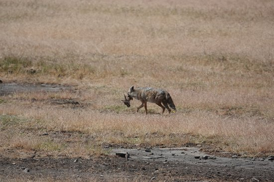 Roy Safaris Ltd: The jackal with the catch of the morning in Ngorongoro crater national park.