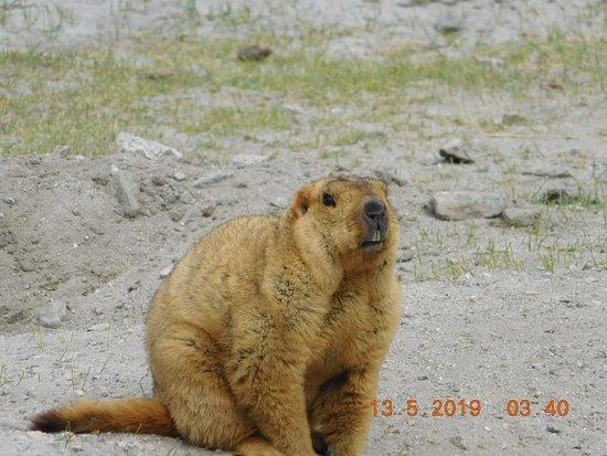 Tangtse, الهند: Himalayan Marmot