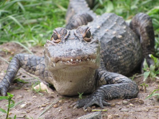 Critchlow Alligator Sanctuary: What are you lookin' at?