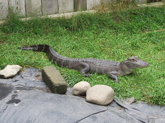 Critchlow Alligator Sanctuary: Hanging out.