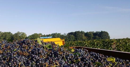 De belles grappes de raisins des vendanges 2018
