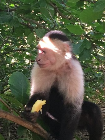 Just 1 of the wild Monkeys you can feed every morning