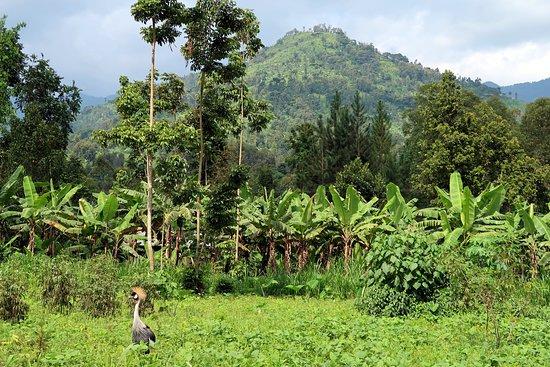 Bududa, Uganda: View right outside homestay featuring the Ugandan Crane