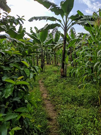 Bududa, Uganda: There are many small paths lined with tropical plants to explore right outside the homestay!