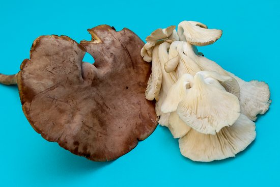 Гватемала: In the antiquity for the habitants San Antonio Palopó, the wild mushrooms, known as Guachipilín, San Juan and others, were an important part of their gastronomy. The mushrooms were collected by the farmers in winter time and they ate them roasted in comal (Batz'on in Kaqchiquel), accompanied with tamalito or tortilla.