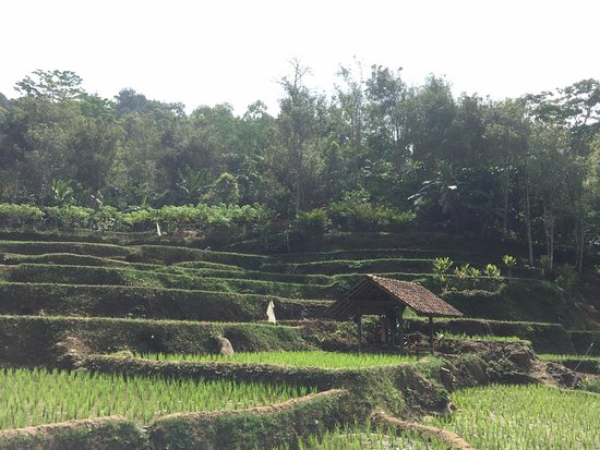 Kuningan, Indonesia: Padi fields