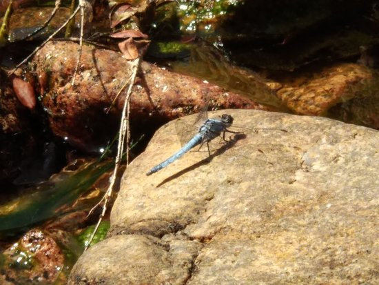 Libelle am Wasser
