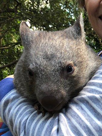Koala Park Sanctuary: Wilbur the Baby Wombat at Koala Park