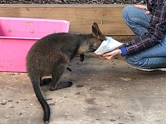 Koala Park Sanctuary: Kangaroo at Koala Park