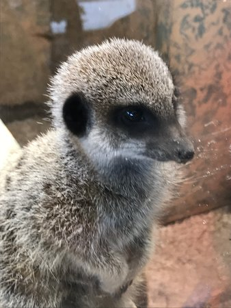 Blair Drummond Safari and Adventure Park: Get up close to Meerkats