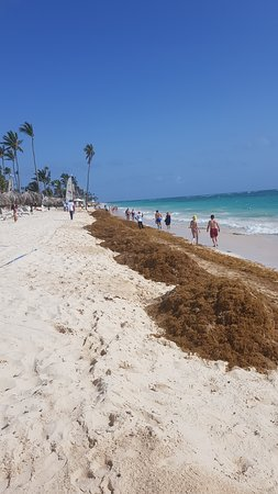 Sea weed management at Gran Bahia...men with rakes and very slow removal process